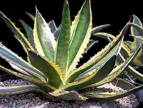 Image of Agave lophantha 'Quadricolor'