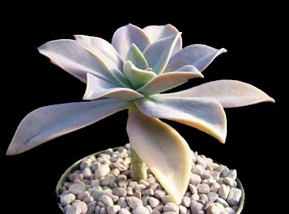 Image of Graptoveria 'Fred Ives'