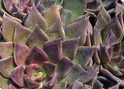 Image of Echeveria 'Black Prince'
