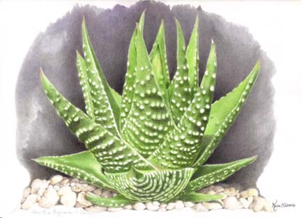 Haworthia portrayal by Lynn-Marie Kara